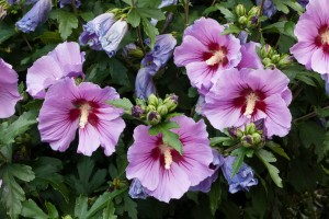 Hibiscus  C2