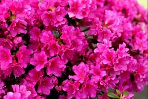 Rhododendron Purpurtraum C3