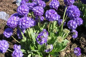 Primula Blue Select C1,5