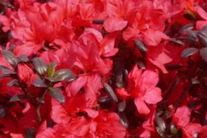 Rhododendron Maruschka C3