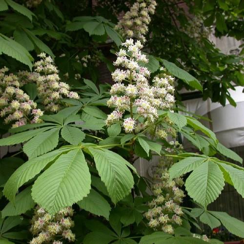 flori de castan din recenzii varicose recenzii