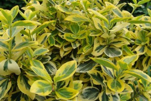 Euonimus verde/galben Emerald Gold C4