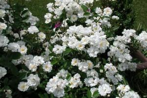 Trandafiri mini White C2