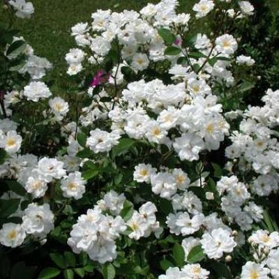 Trandafir Alba Meilland C3