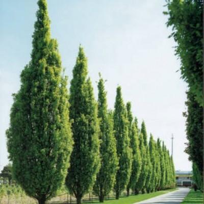 Stejar columnar C7.5