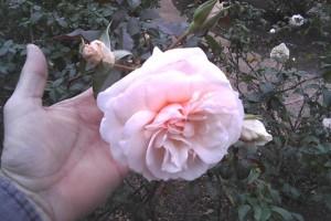 Trandafir Guinevere C3