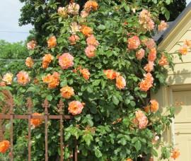 Trandafir urcator orange Westerland C10