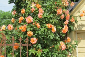 Trandafir urcator orange Rna