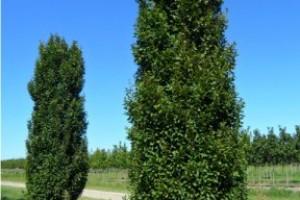 Carpen  columnar Lucas  200-250cm, 8/10, C35