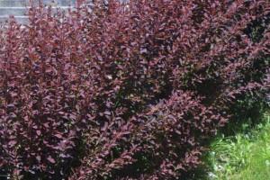 Dracila rosie Superba C7.5