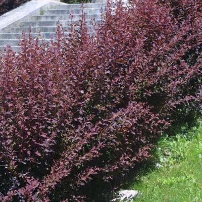 Dracila rosie C7.5