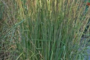 Calamagrostis acutiflora Avalanche C2