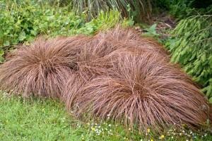 Carex  comans Bronze Form C3