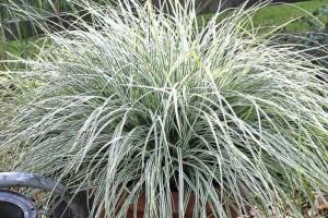 Carex  conica Snowline C3