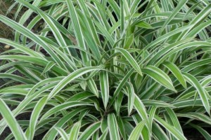 Carex  siderosticha Vriegata C3