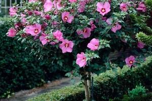 Hibiscus copacel Pa 80-100
