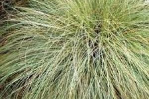 Carex  comans Frosted Curls C3
