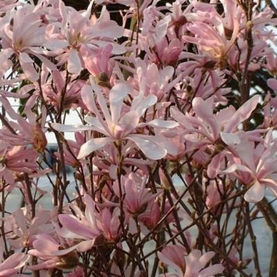 Magnolia loebneri Leonard Messel C3