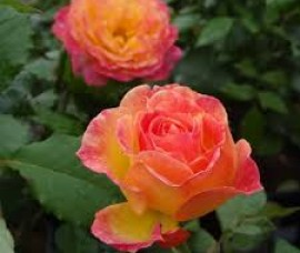Trandafir multiflore Gartenspass C4