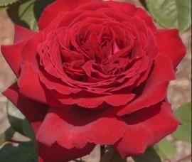 Trandafir Botero C5