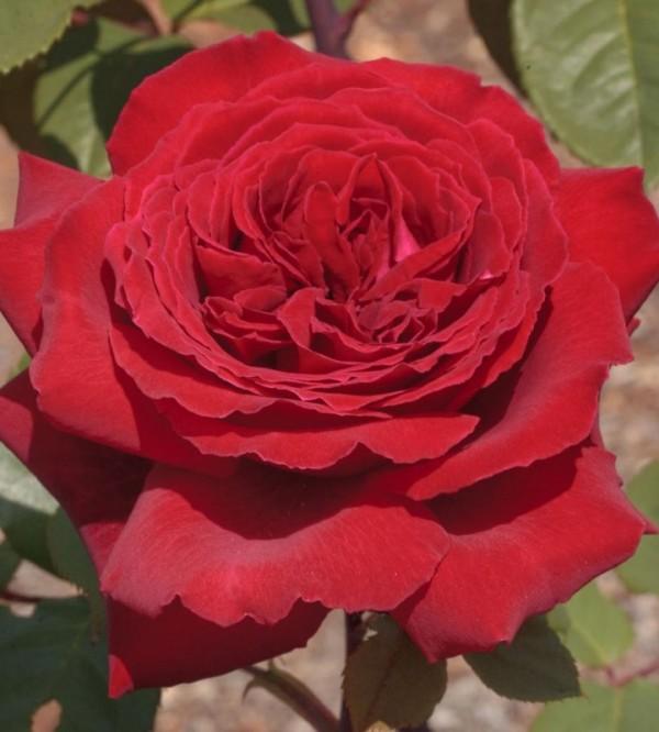 Trandafir Botero Rna