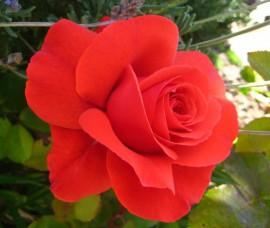 Trandafir floribund Foc de Tabara C4