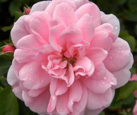 Trandafir floribund Bonica Rna