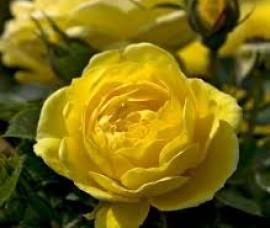 Trandafiri mini Sun Hit Rna