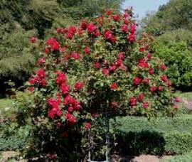 Trandafir urcator Florentina  Rha