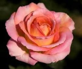 Trandafir Elle C5
