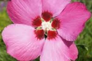 Hibiscus Pink Giant C3