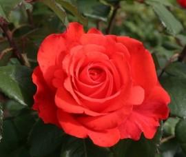 Trandafir Holsteinperle Rna