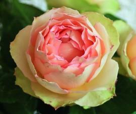 Trandafir Jalitah  Rna