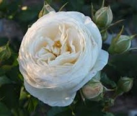 Trandafir floribund Artemis Rna