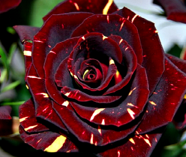 Trandafir Hocus Pocus Rna