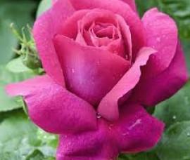Trandafir Caprice de Meilland C5