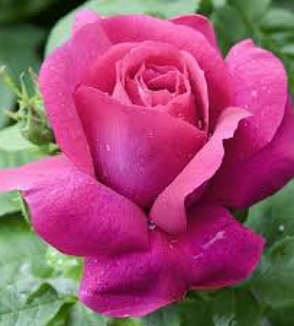 Trandafir Caprice de Meilland Rna