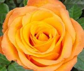 Trandafir teahybrid Kerio C5