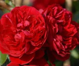 Trandafir floribund  Wettra C4