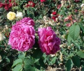 Trandafir pentru dulceata Sachsengruss Rna