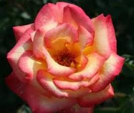 Trandafir floribund Double Sheilas Parfum C4