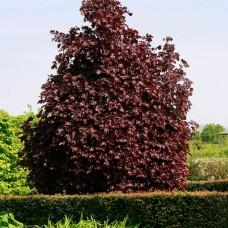 Artar Crimson King 175- 200 cm, 10/12 C80