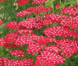 Achillea mellifolium Paprika (Coada soricelului rosie) C5