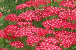 Achillea millefolium Saucy seduction (Coada soricelului)