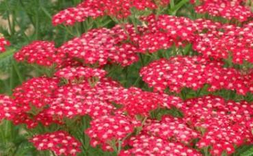 Achillea millefolium Saucy seduction (Coada soricelului)