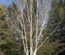 Mesteacăn trei tulpini, 100-120cm, C10