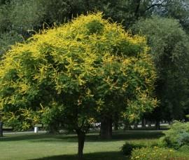 Arborele lampion C5