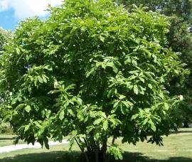 Magnolia tripetala C10