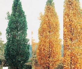Arborele cu lalele columnar C5