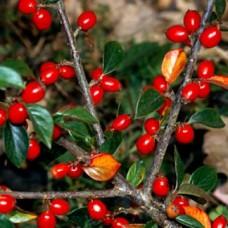 Cotoneaster Simonsii C7.5